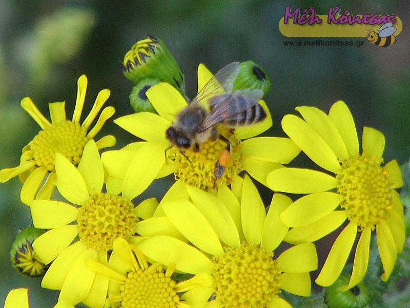 Μέλισσα συλλέγει γύρη στο Σενέκιο - Μαρτιάκο