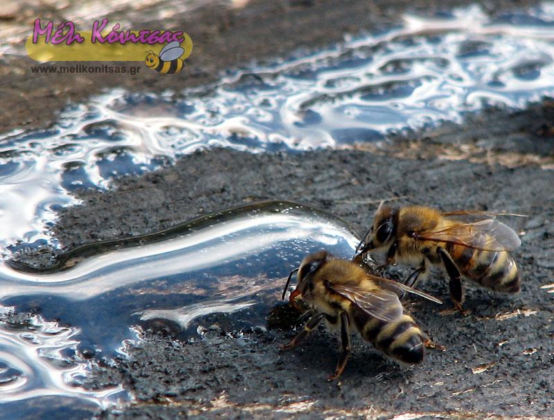 Μέλισσες πίνουν νερό στην ποτίστρα ( Φωτογραφίες και βίντεο )