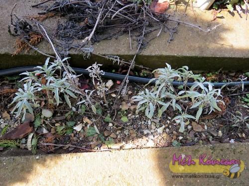 Ο πιο εύκολος, απλός και αποδοτικός τρόπος πολλαπλασιασμού για το φασκόμηλο είναι οι παραφυάδες ( μελισσοκομικός όρος ). Δηλαδή να κόψουμε κλαδάκια από ένα μεγάλο και ρωμαλέο φυτό και να τα μεταφυτεύσουμε. Ένα μεγάλο φυτό μπορεί να μας δώσει δεκάδες παραφυάδες, αρκεί να είναι μεγάλο και καλά ανεπτυγμένο. Ανοίγουμε μια τρύπα στο έδαφος και τοποθετούμε το φυτό μέσα. Χρειάζεται νερό όπως όλες οι μεταφυτεύσεις. Όταν γίνεται όμως σε περίοδο με πολλές βροχές… όλα γίνονται μόνα τους. Αυτό φυσικά μπορεί να γίνει στο μελισσοκομείο μας ή στον χώρο που μας ενδιαφέρει. Η ενέργεια είναι απλή. Κόβουμε το κλαδάκι, ανοίγουμε μια τρύπα και το βάζουμε μέσα. Δεν είναι δύσκολη εργασία. Σε 5 λεπτά φυτεύουμε 10. Θεωρητικά από ένα φυτό την πρώτη χρονιά θα πάρουμε 10 και την 2η από τα 10 από 10. Δηλαδή 100. Την Τρίτη 1000 και πάει λέγοντας. Απλώς θέλω να πω ότι ο εμπλουτισμός της μελισσοκομικής χλωρίδας μπορεί να είναι απλός. Εξάλλου το φασκόμηλο πίνεται και ως τσάι! Δεν θέλει φροντίδα.